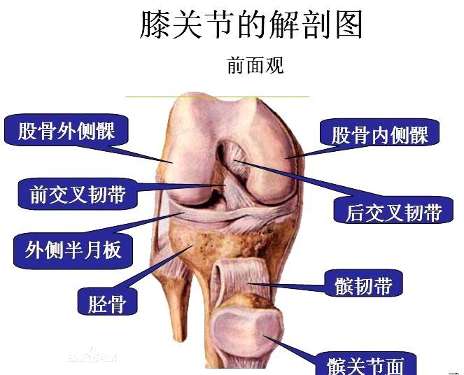 膝关节的辅助结构